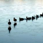 frisco tx ducks in a row
